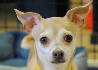 Chihuahua Mix Dog for adoption in Colorado Springs, Colorado - Aruba
