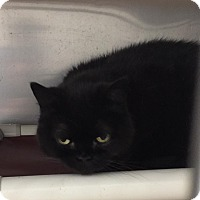 Adopt A Pet :: Blacky - Shelby, MI