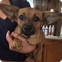 Adopt A Pet :: Sarabi - Weatherford, OK