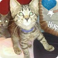 Adopt A Pet :: Moe - Millersville, MD