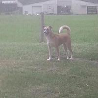 Husky/Shepherd (Unknown Type) Mix Dog for adoption in Oviedo, Florida - Athena