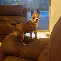 Chihuahua Dog for adoption in Jacksonville, Florida - Terrence