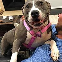 Adopt A Pet :: Pogi- Courtesy Listing - Fredericksburg, VA