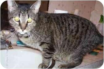 Domestic Shorthair Cat for adoption in Goldsboro, North Carolina - Squiggles