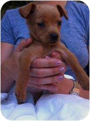 Terrier (Unknown Type, Small)/Chihuahua Mix Puppy for adoption in Encino, California - Gummi Bear