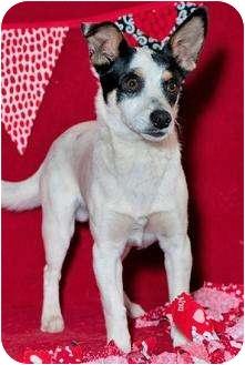 Jack Russell Terrier Mix Dog for adoption in Phoenix, Arizona - Wishone