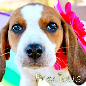 Hound (Unknown Type) Mix Puppy for adoption in Garden City, Michigan - Precious