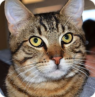 Domestic Shorthair Cat for adoption in Ardsley, New York - Calvin