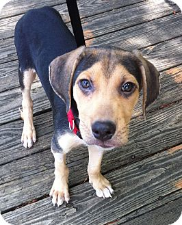 Treeing Walker Coonhound Mix Puppy for adoption in Nashville, Tennessee - Chewy