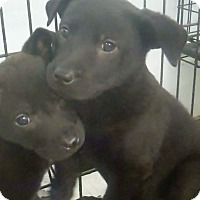 Adopt A Pet :: Pitch - Philadelphia, PA