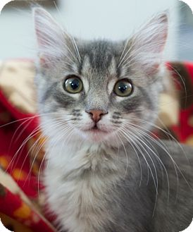Domestic Mediumhair Kitten for adoption in Knoxville, Tennessee - Abbey