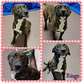 American Pit Bull Terrier Mix Dog for adoption in Louisburg, North Carolina - Ringo