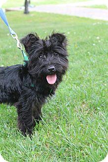 Scottie, Scottish Terrier/Maltese Mix Puppy for adoption in Southington, Connecticut - Kenzie