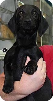 Dachshund Mix Dog for adoption in Huntley, Illinois - Kaley