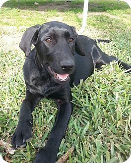 Labrador Retriever Mix Dog for adoption in Destrehan, Louisiana - Heidi
