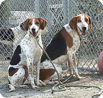 Treeing Walker Coonhound Mix Dog for adoption in Windsor, Virginia - Halley