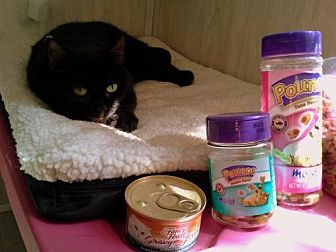 Domestic Shorthair Cat for adoption in Berkeley Springs, West Virginia - Midnight