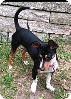 Miniature Pinscher/Dachshund Mix Dog for adoption in Houston, Texas - Victor