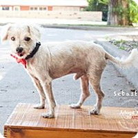 Adopt A Pet :: Sebastian - Shawnee Mission, KS