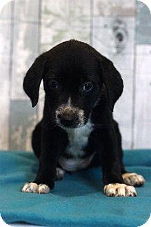 Labrador Retriever Mix Puppy for adoption in Waldorf, Maryland - Daiquiri
