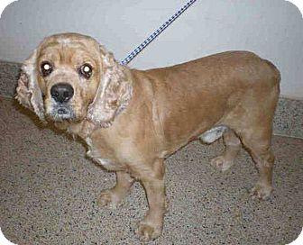 Cocker Spaniel Dog for adoption in Cape Coral, Florida - Milton