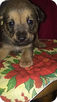 Border Collie/Polish Lowland Sheepdog Mix Puppy for adoption in Boerne, Texas - Brutus