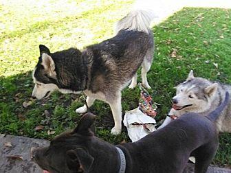 Husky Mix Dog for adoption in Rosemead, California - Tipton