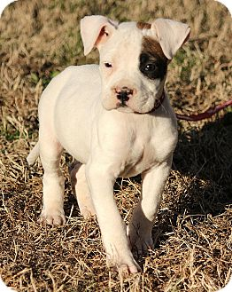 Boxer Mix Puppy for adoption in Allentown, Pennsylvania - Molly