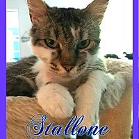 Adopt A Pet :: Stallone - Corinth, NY