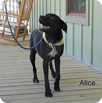 Labrador Retriever Mix Dog for adoption in Slidell, Louisiana - Alice