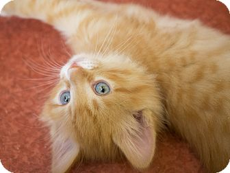 Domestic Shorthair Kitten for adoption in Los Angeles, California - Absolut