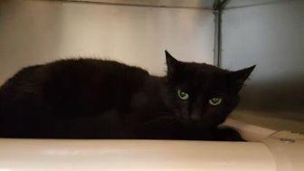 Domestic Shorthair/Domestic Shorthair Mix Cat for adoption in New Freedom, Pennsylvania - Mia