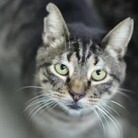 Domestic Shorthair/Domestic Shorthair Mix Cat for adoption in Manteo, North Carolina - Theo