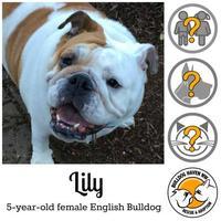 Adopt A Pet :: Lily - Everett, WA