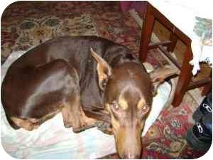 Doberman Pinscher Dog for adoption in Arlington, Virginia - Gabby