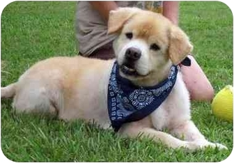 Chow Chow Mix Dog for adoption in Portsmouth, Rhode Island - Chuckie