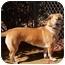 Photo 2 - Corgi/Chow Chow Mix Dog for adoption in El Cajon, California - Cookie