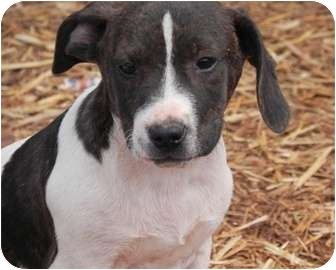 Pit Bull Terrier/Hound (Unknown Type) Mix Puppy for adoption in Salem, New Hampshire - Pez