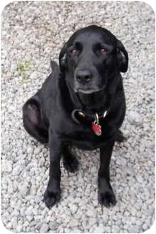 Labrador Retriever Dog for adoption in Cincinnati, Ohio - Cairo - Courtesy Post