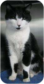 Domestic Shorthair Cat for adoption in Peoria, Illinois - Panda