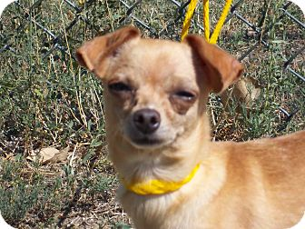 Chihuahua Dog for adoption in Sterling, Colorado - Pixie
