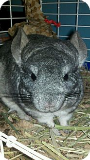 Chinchilla for adoption in Lindenhurst, New York - Buttercup