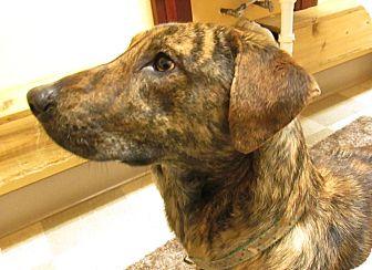 Collie/Plott Hound Mix Dog for adoption in Libby, Montana - Baby