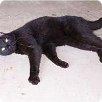 Adopt A Pet :: SweetCat*courtesy - Xenia, OH