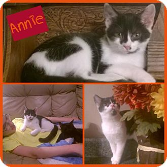 Manx Cat for adoption in Windham, New Hampshire - Annie