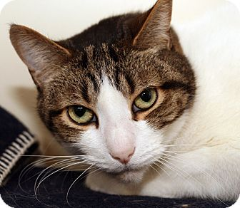 Domestic Shorthair Cat for adoption in Royal Oak, Michigan - YOSHI