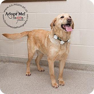 Labrador Retriever Dog for adoption in Troy, Ohio - Jojo-ADOPTED