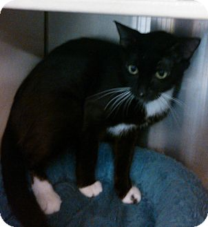 Domestic Shorthair Cat for adoption in Lawrenceville, Georgia - Mialeya