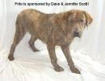 Plott Hound/Labrador Retriever Mix Dog for adoption in Jackson, Mississippi - Frito