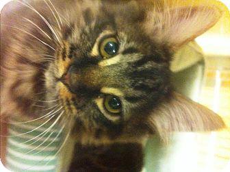 Maine Coon Kitten for adoption in Lake Elsinore, California - Pecan